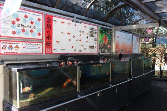 江戸川区の特産である金魚など、淡水魚も見ることができる