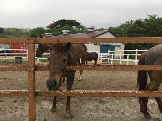 近寄ると馬が柵から顔を出してきます!