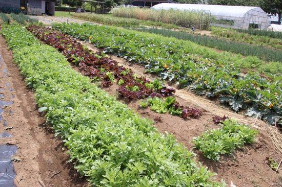 畑ではじゃがいもやレタス、ズッキーニなど、身近な野菜が無農薬の有機農業で育てられていた