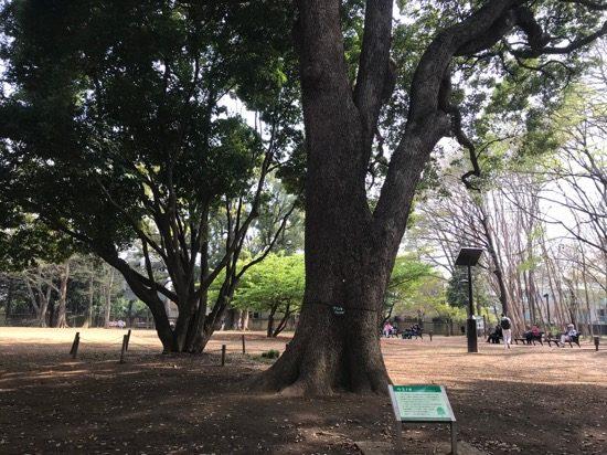 シンボルツリーのクスノキ
