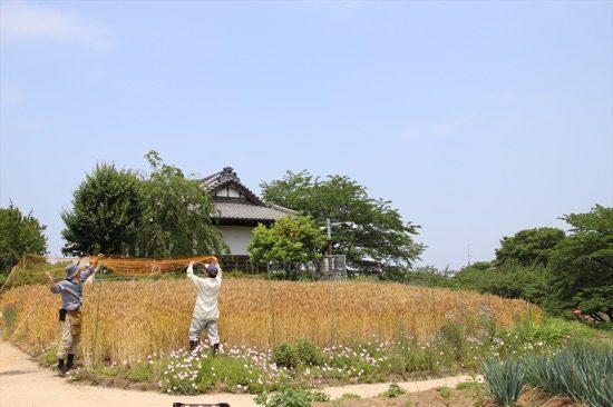 取材時は麦がグングン育っていて綺麗だった。ここが都内であることを忘れてしまう景色
