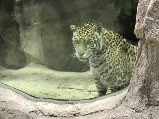 メスのジャガーは毛並みがとってもきれい
