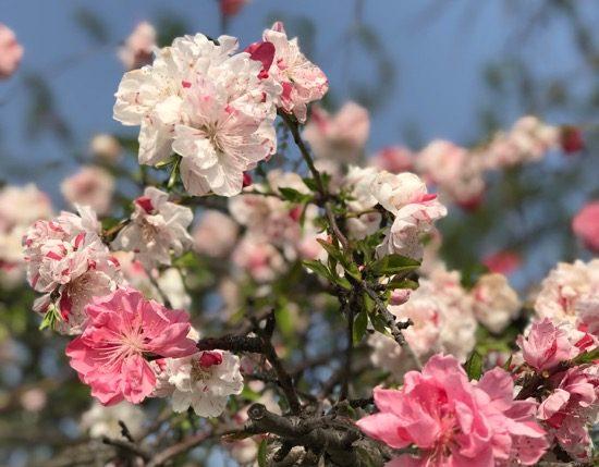 天空庭園に咲くハナモモの花