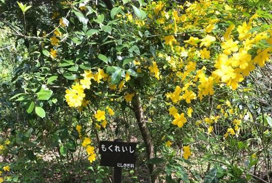 黄色い花がかわいらしいにしきぎ科 モクレイシ