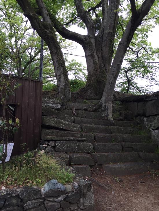 """某テレビ番組の珍百景に登録された、""""階段をのぼる人に見える木"""""""