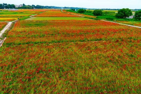 河川敷に広がる敷地面積日本一のポピー畑が見事