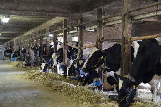 ホルスタイン種、ジャージー種合わせて100頭近くの乳牛が飼育されている