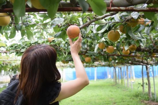 どの梨が食べごろかよく見て選ぼう