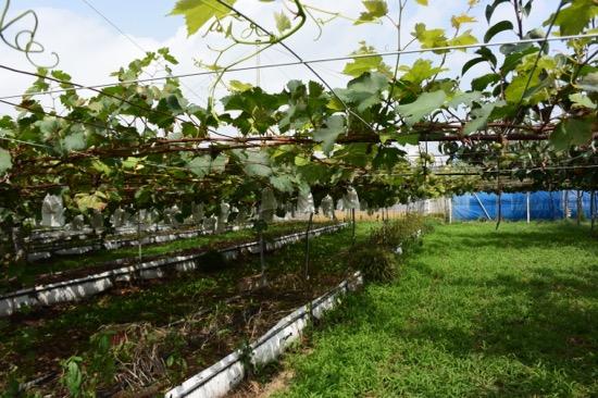 こちらはブドウの畑。8月から10月が収穫時期